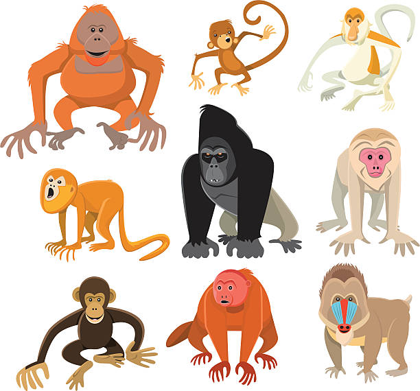 monkey or primate collection - monkey stock illustrations