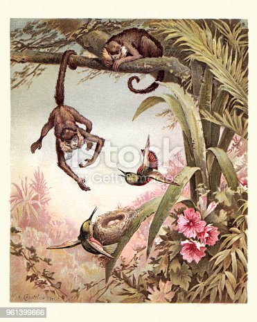 istock Monkey stealing birds eggs from a nest, 19th Century. 961399666