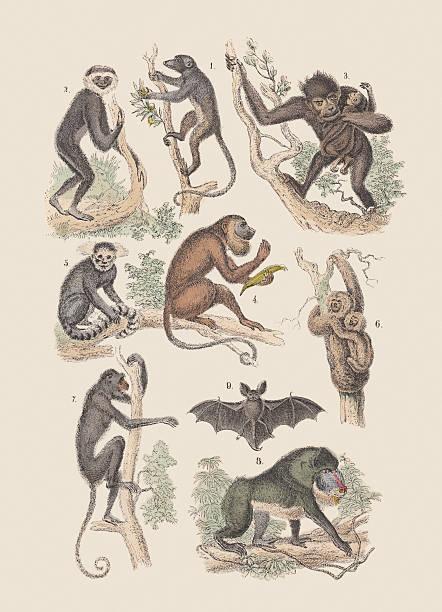 Monkeys and bat, hand-colored lithograph, published in 1880. 1) Mongoose lemur (Eulemur mongoz), 2) Lar gibbon (Hylobates lar), 3) chimpanzee (pan), 4) Guinea baboon (Papio papio), 5) Common marmoset (Callithrix jacchus), 6) Pale-throated sloth (Bradypus tridactylus), 7) Red-faced spider monkey (Ateles paniscus), 8) Mandrill (Mandrillus sphinx), 9) Particoloured bat (Vespertilio murinus). Hand-colored lithograph from my archive, published in 1880. common marmoset stock illustrations