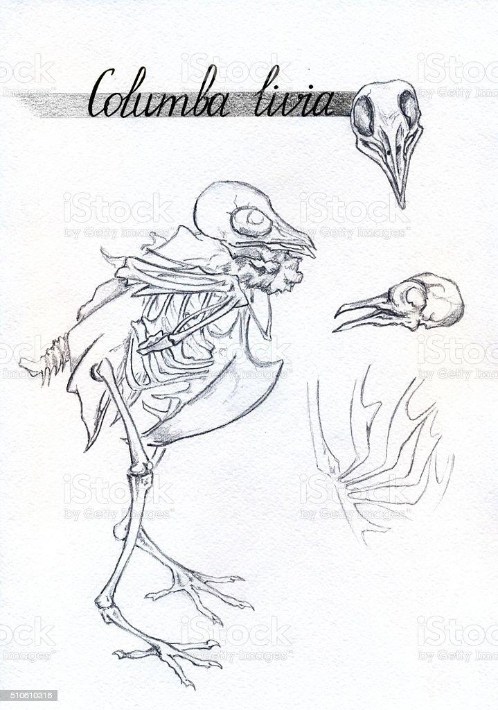 Monochrom Skelett Totenkopf Taube Taube Vogel Tier Tintenskizze ...