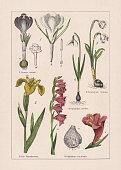 Monocotyledons, iridaceae: 1) Spring crocu (Crocus vernus), b-blossom, c-stamen, d-stigma; 2) Yellow flag (Iris pseudacorus); 3) Eastern gladiolus (Gladiolus communis), b-blossom, c-bulb; 4) Snowdrop (Galanthus nivalis); 5) Spring snowflake (Leucojum vernum). Chromolithograph, published in 1895.