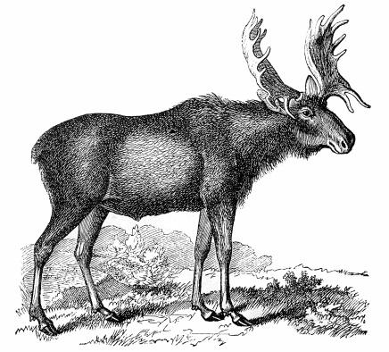 Moose or Eurasian Elk (Alces alces)