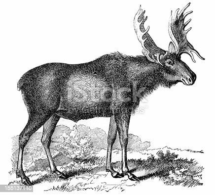 Eurasian elk - photo#35