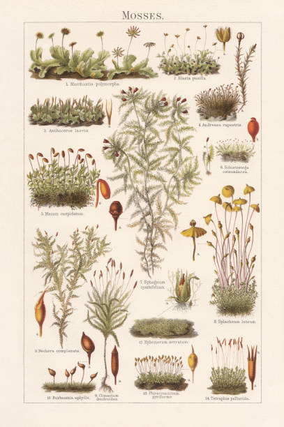 mosses, lithograph, published in 1897 - moss stock illustrations