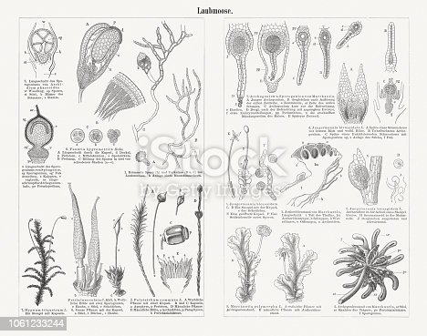 Mosses (Bryophyta). Wood engravings, published in 1897.