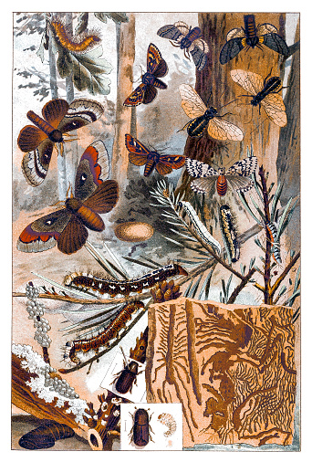 Illustration of a Moths