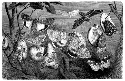 illustration o a Moths