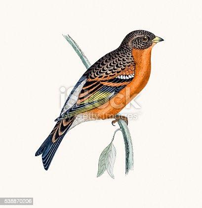 istock Mountain Finch bird 538870206