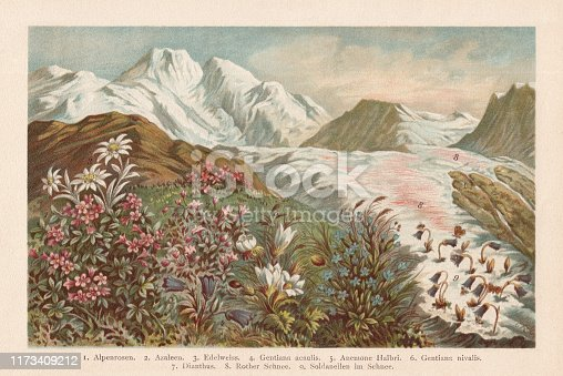 Mountain flora: 1) Alpenroses (Rhododendron); 2) Azalea (Rhododendron); 3) Edelweiss (Leontopodium nivale); 4) Trumpet gentian (Gentiana acaulis); 5) Anemone Halbri; 6) Alpine gentian (Gentiana nivalis); 7) Alpine Pink (Dianthus alpinus); 8) Red Snow, or Watermelon snow (nature phenomenon caused by Chlamydomonas nivalis); 9) Alpine snowbell (Soldanella alpina). Chromolithograph, published in 1894.