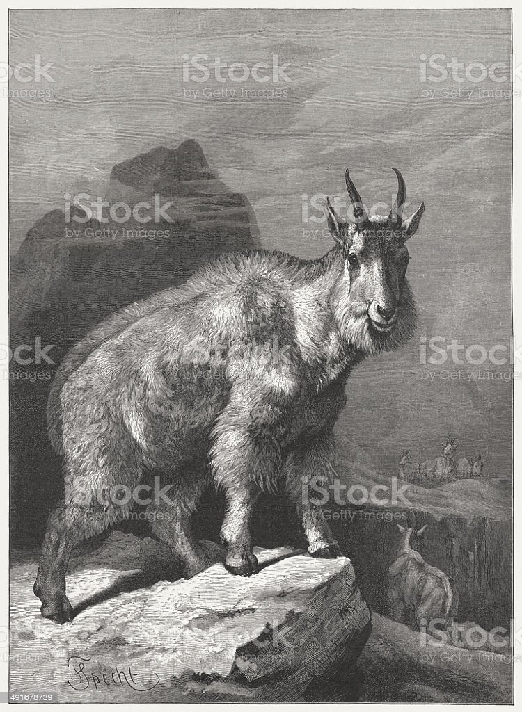 Mountain goat (Oreamnos americanus). Wood engraving, published in 1884 vector art illustration