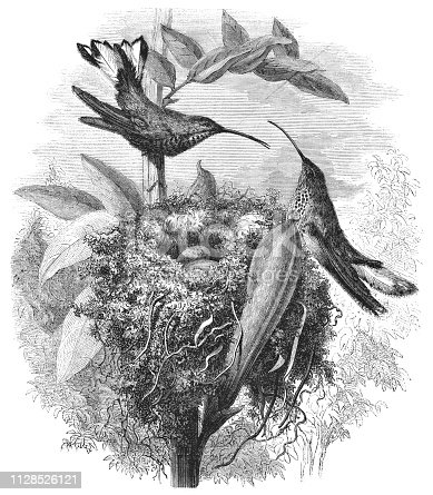Mountain Velvetbreast hummingbird (Lafresnaya lafresnayi) from Magasin Pittoresque. Vintage etching circa mid 19th century.