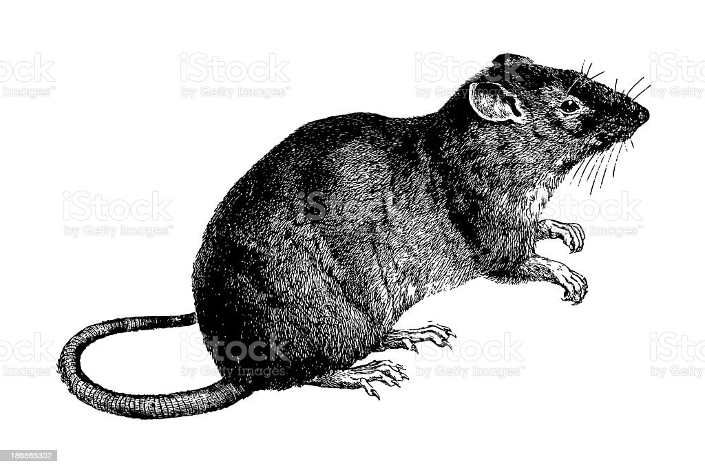 Mouse vector art illustration