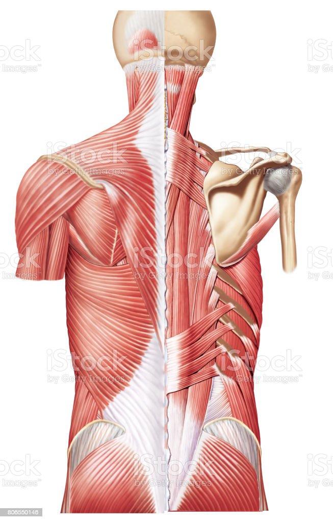 Ilustración de Mredondo Mayor y más banco de imágenes de Anatomía ...