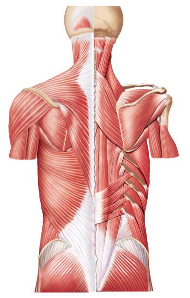 Músculo Romboide menor e maior Músculos do dorso(costas) human muscle stock illustrations