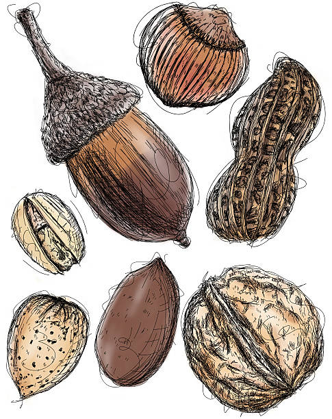 Multiple nut sketches Acorn (top left), chestnut (top middle), Peanut (top right), pistachio (middle left), almond(bottom left), pecan (bottom middle), and Walnut (bottom right) sketches. RETROROCKET stock illustrations