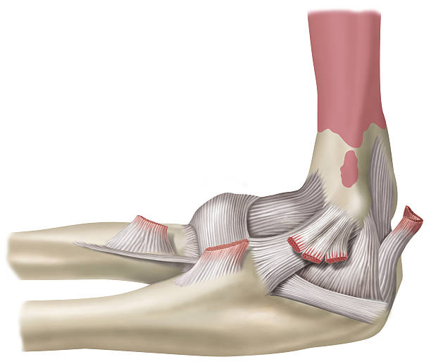 Royalty Free Annular Ligament Clip Art, Vector Images ...