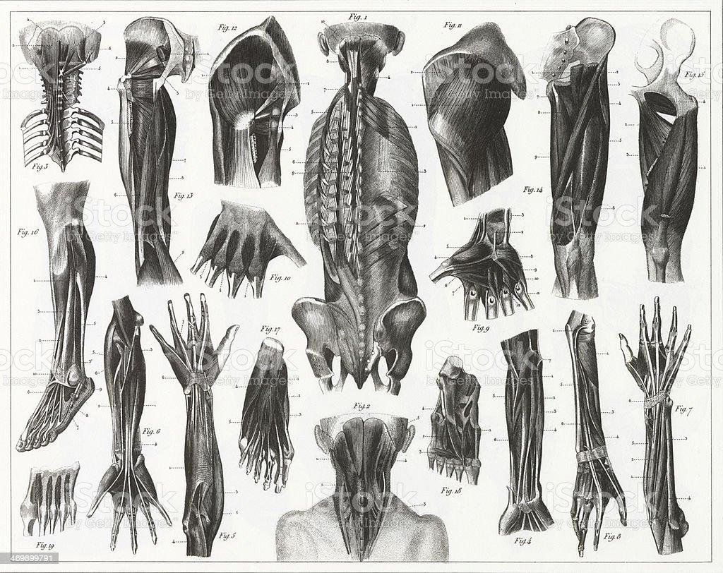 Muscle Anatomy Engraving vector art illustration