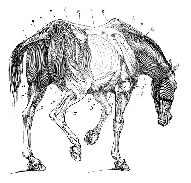 Royalty Free Equine Anatomy Clip Art, Vector Images & Illustrations ...