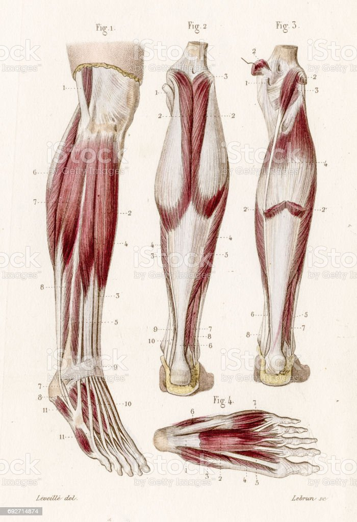 Muscle leg and foot anatomy engraving 1886 vector art illustration