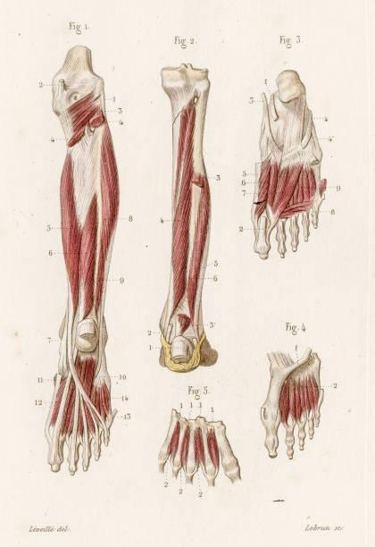 Royalty Free Fibularis Longus Muscle Clip Art, Vector Images ...
