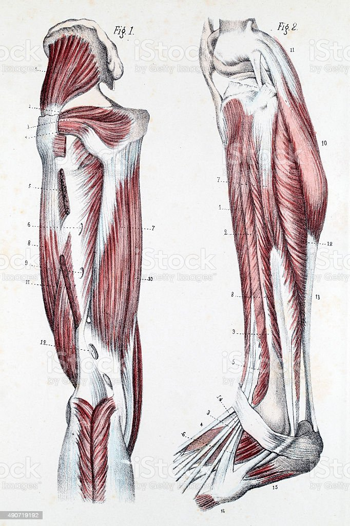 Muscles and Cartilage on human feet vector art illustration