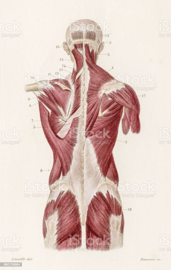 Muscles back anatomy engraving 1886 vector art illustration