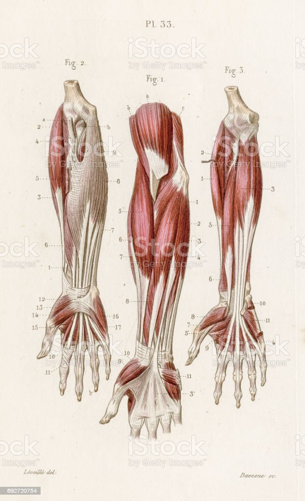 Muscles Forearm Anatomy Engraving 1886 Stock Vector Art More