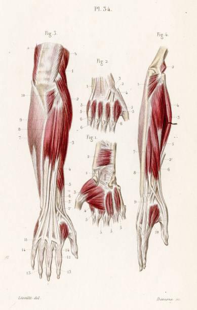 Muscles forearm anatomy engraving 1886 vector art illustration
