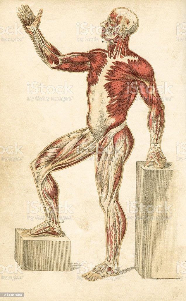 Ilustración de Músculos Anatomía Humana Dibujos y más banco de ...