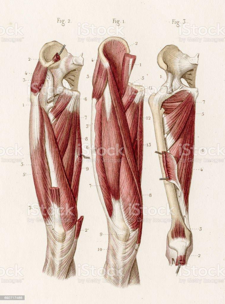 Muskeln Bein Anatomie 1886 Gravur Stock Vektor Art und mehr Bilder ...