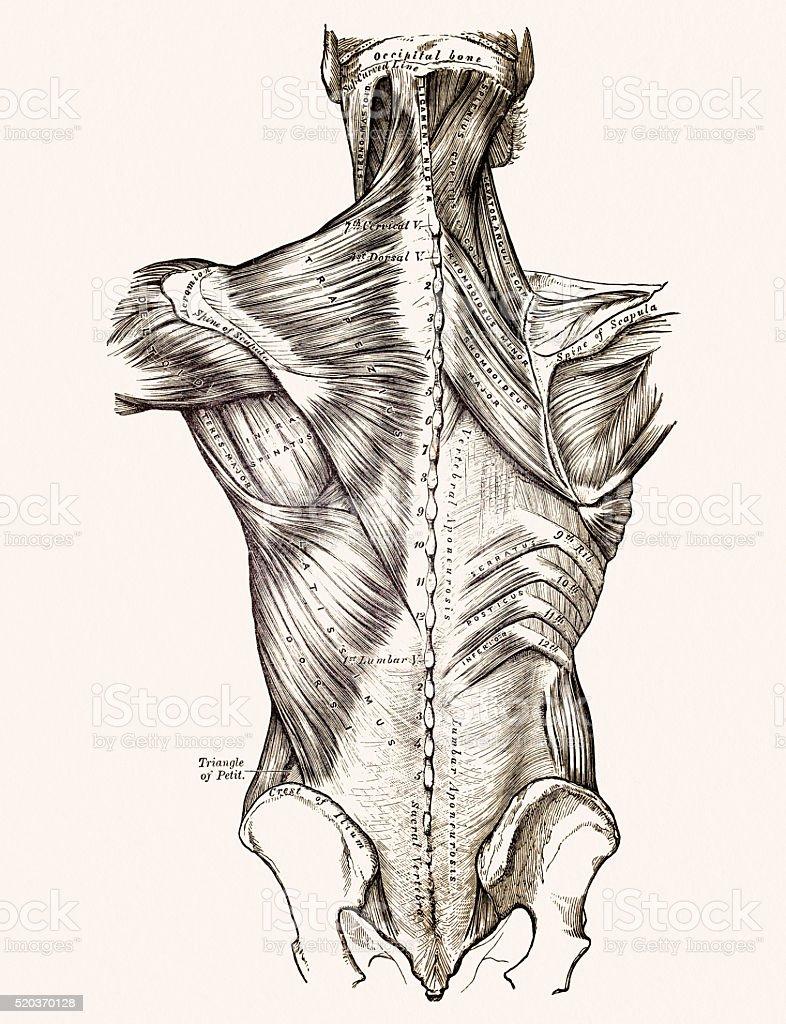 Ilustración de Músculos De La Espalda Médicos Medio Siglo 19 y más ...