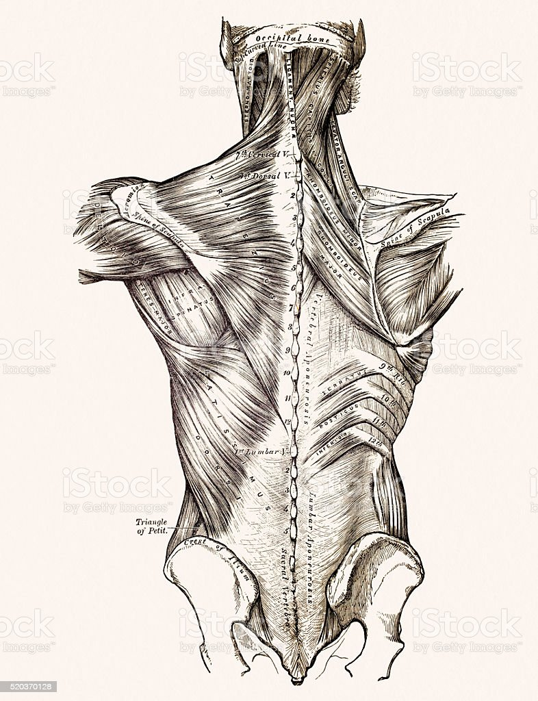Muscles of the back, 19 century medical illustration vector art illustration