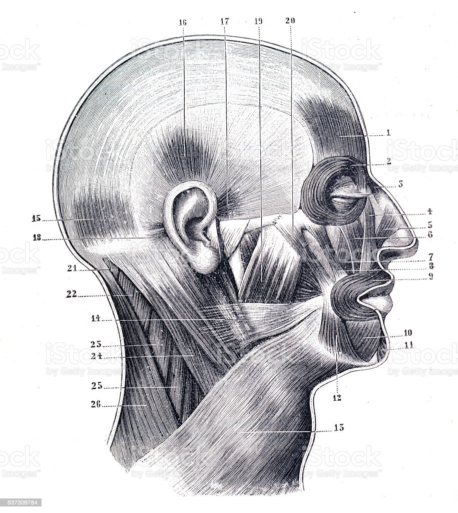Muscles Of The Cranium And Face Engraving 1894 Stock Vector Art ...