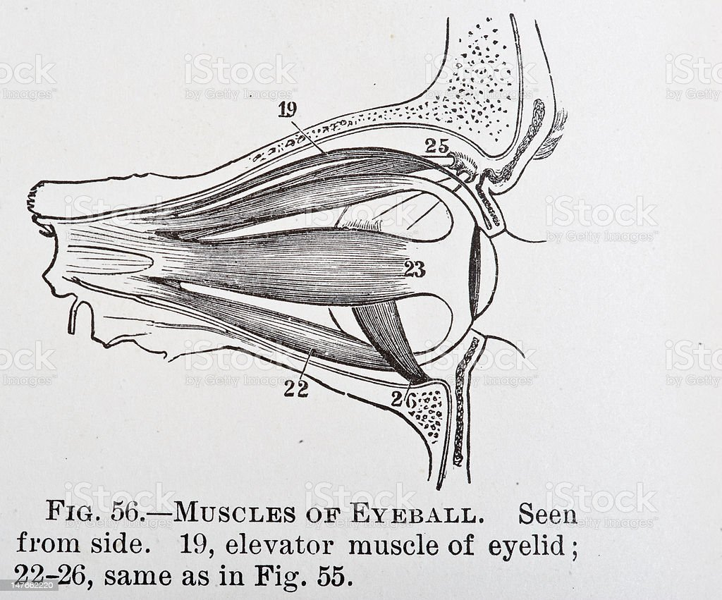 Músculos Del Ojo Vista Lateral - Arte vectorial de stock y más ...