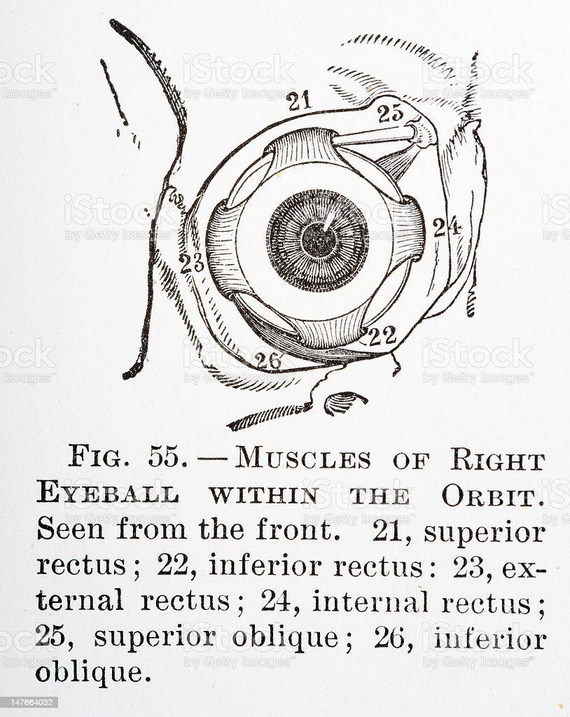 Muskeln Im Auge Stock Vektor Art und mehr Bilder von Altertümlich ...