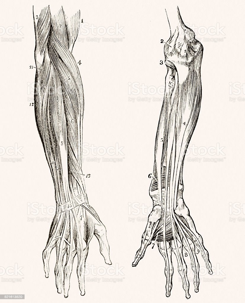 Muscles Of The Forearm 19 Century Medical Illustration Stock Vector ...