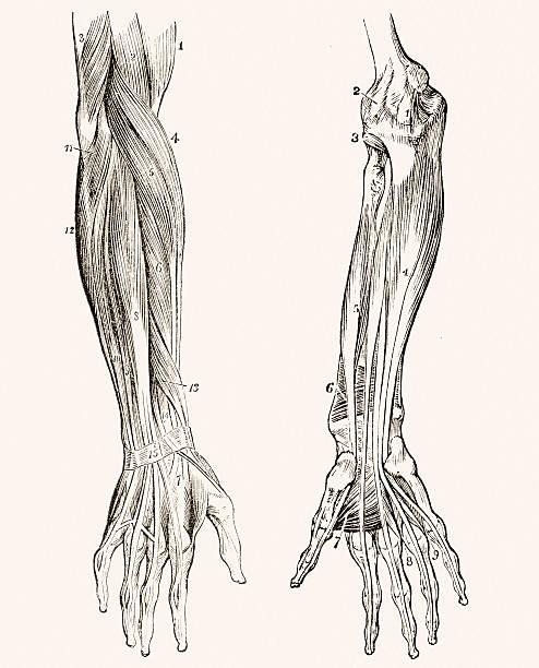 ilustraciones, imágenes clip art, dibujos animados e iconos de stock de músculos de los antebrazos médicos medio siglo 19 - medicina del deporte