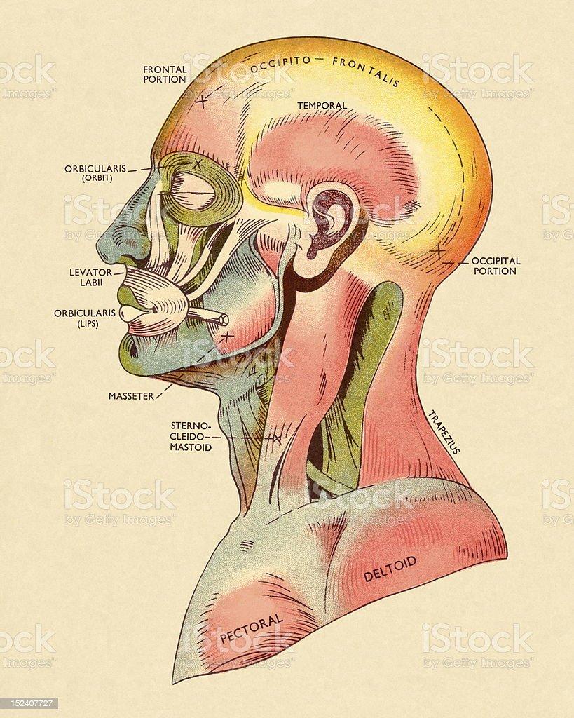 Ilustración de Músculos De La Cabeza Y La Parte Superior Del Cuerpo ...