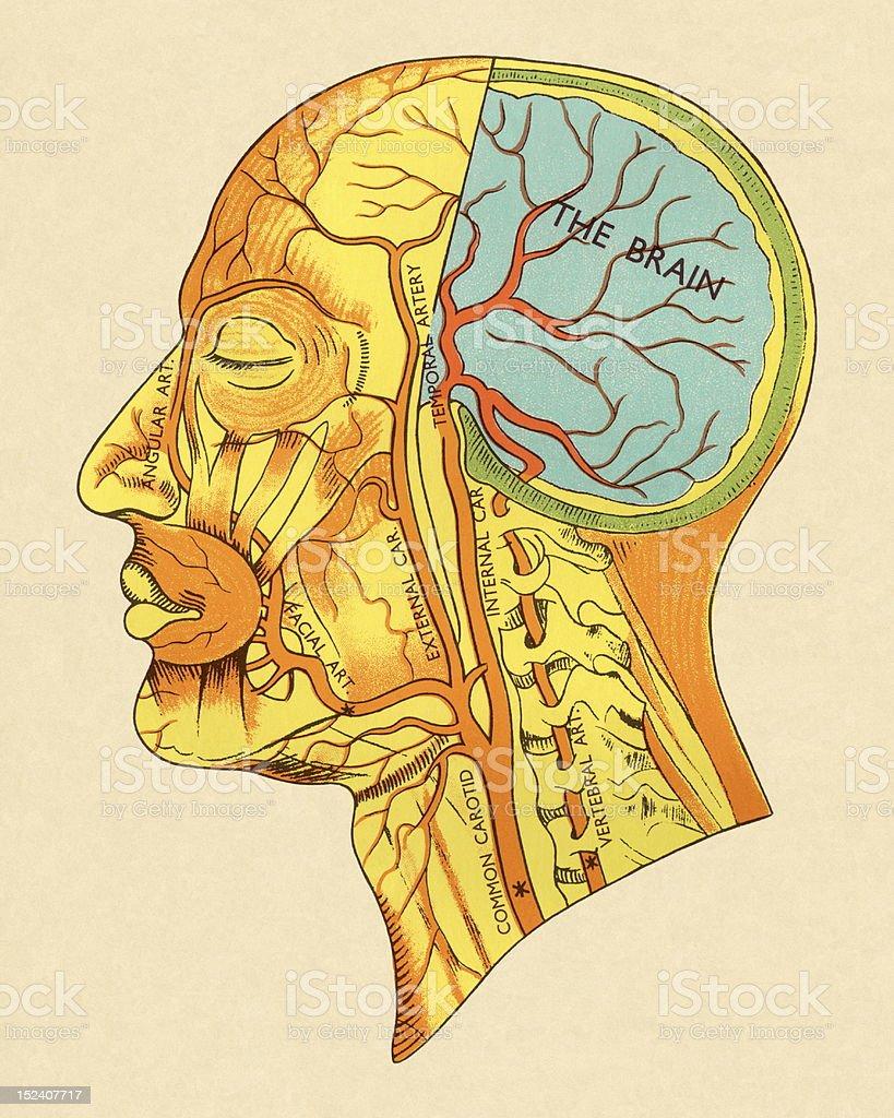 Ilustración de Músculos De La Cabeza Diagrama y más banco de ...
