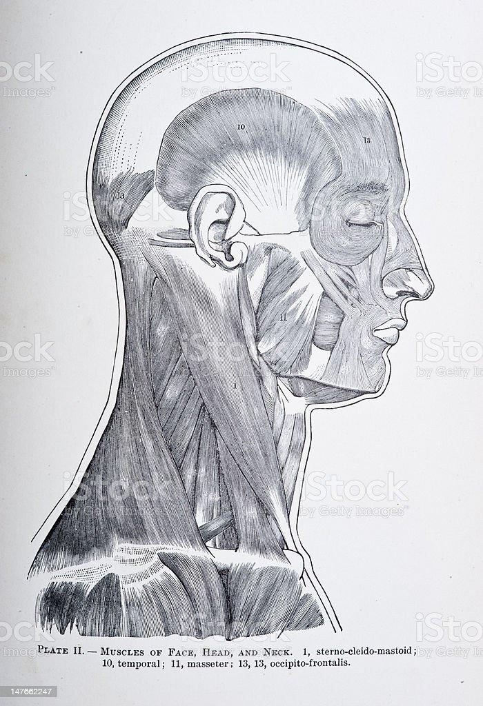 Ilustración de Músculos De La Cabeza Y Cuello Y Cara y más banco de ...