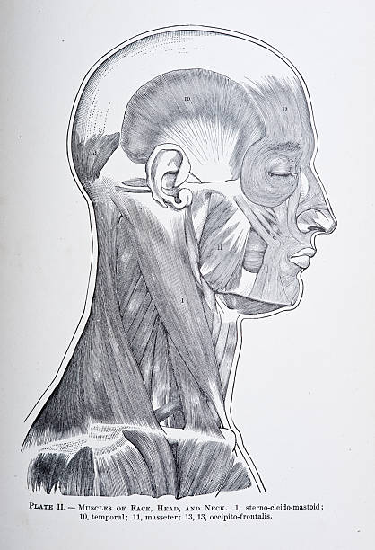 muscles of the head, face, and neck - autopsy stock illustrations, clip art, cartoons, & icons