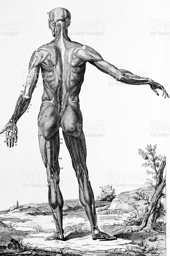 Muskeln Des Menschlichen Körper Abbildung Stock Vektor Art und mehr ...