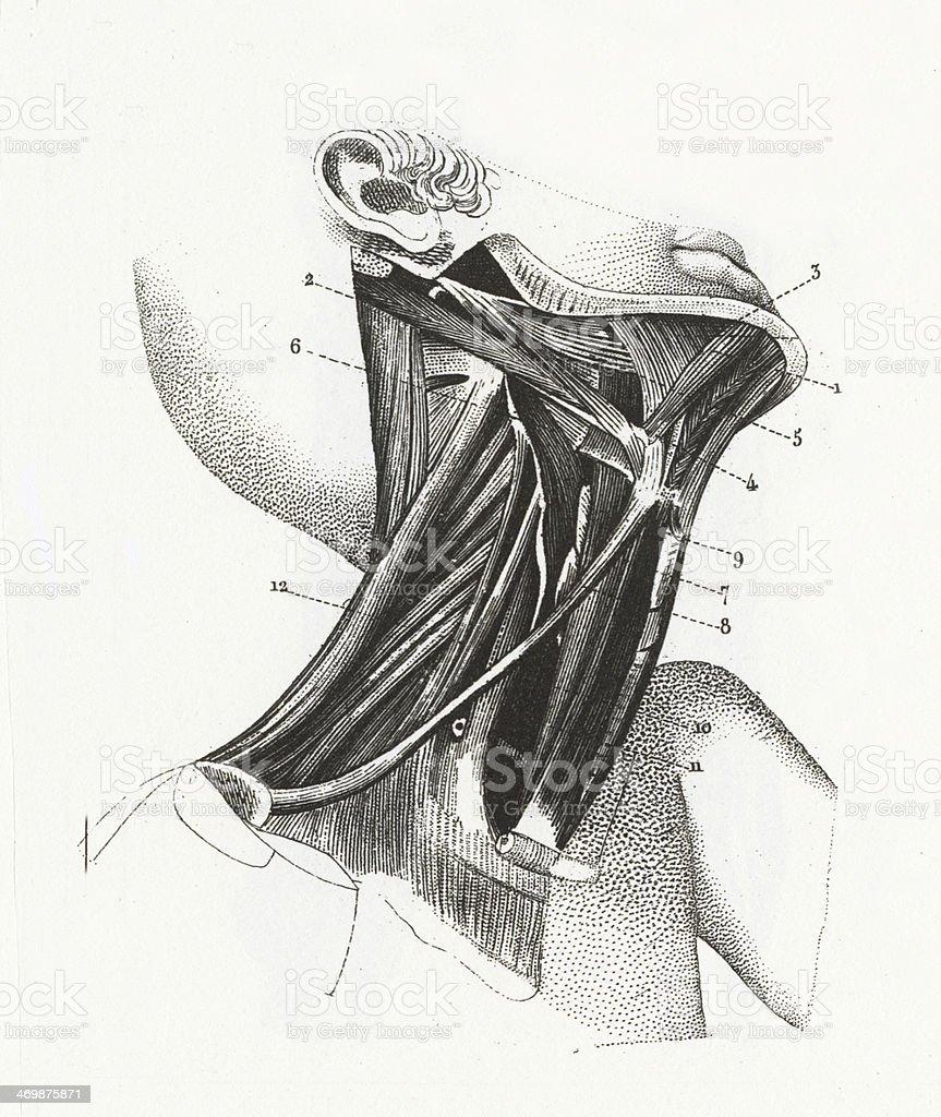 Ilustración de Músculos Del Cuello Y La Garganta y más banco de ...