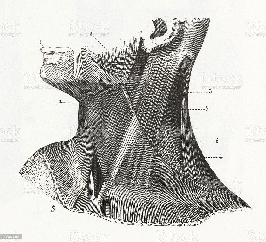 Ilustración de Músculos Del Cuello y más banco de imágenes de ...