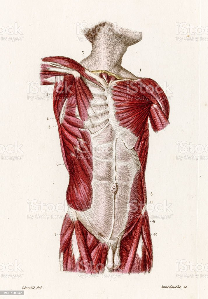 Muscles Of The Torso Anatomy Engraving 1886 Stock Vector Art & More ...