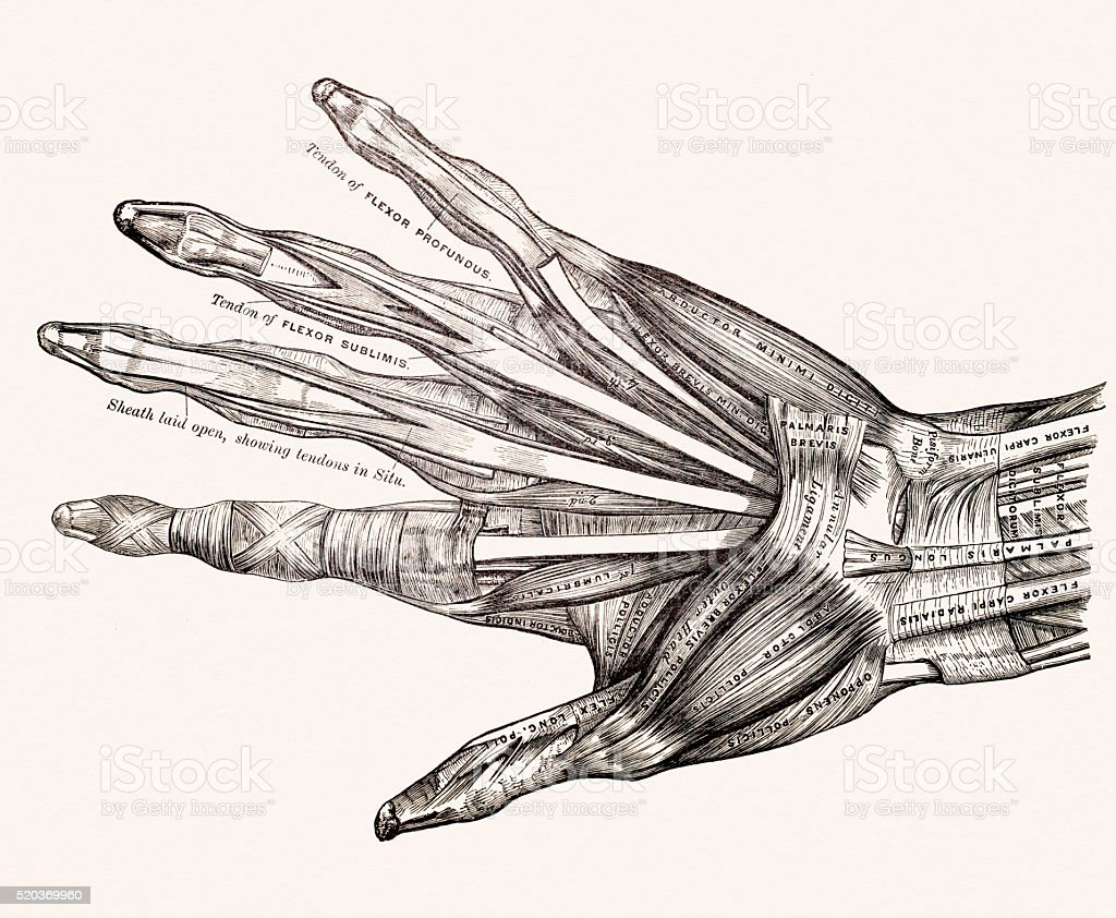Muscles On Left Hand 19th Century Anatomy Image Stock Vector Art ...
