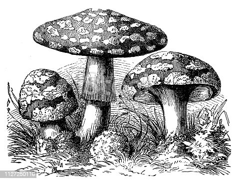Illustration of a A mushroom, or toadstool, is the fleshy, spore-bearing fruiting body of a fungus, typically produced above ground on soil or on its food source