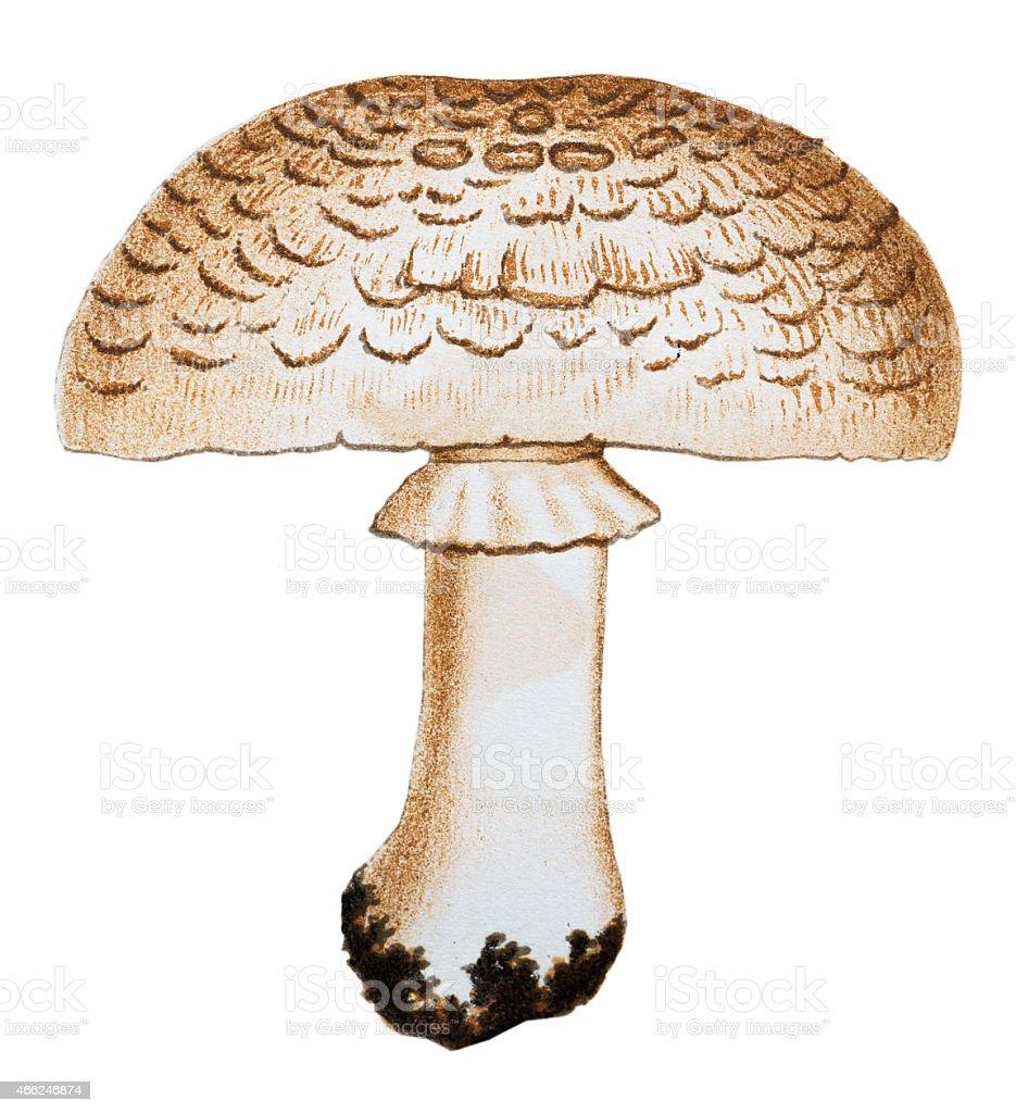 Mushrooms And Fungi Agaricus Arvensis stock vector art ...
