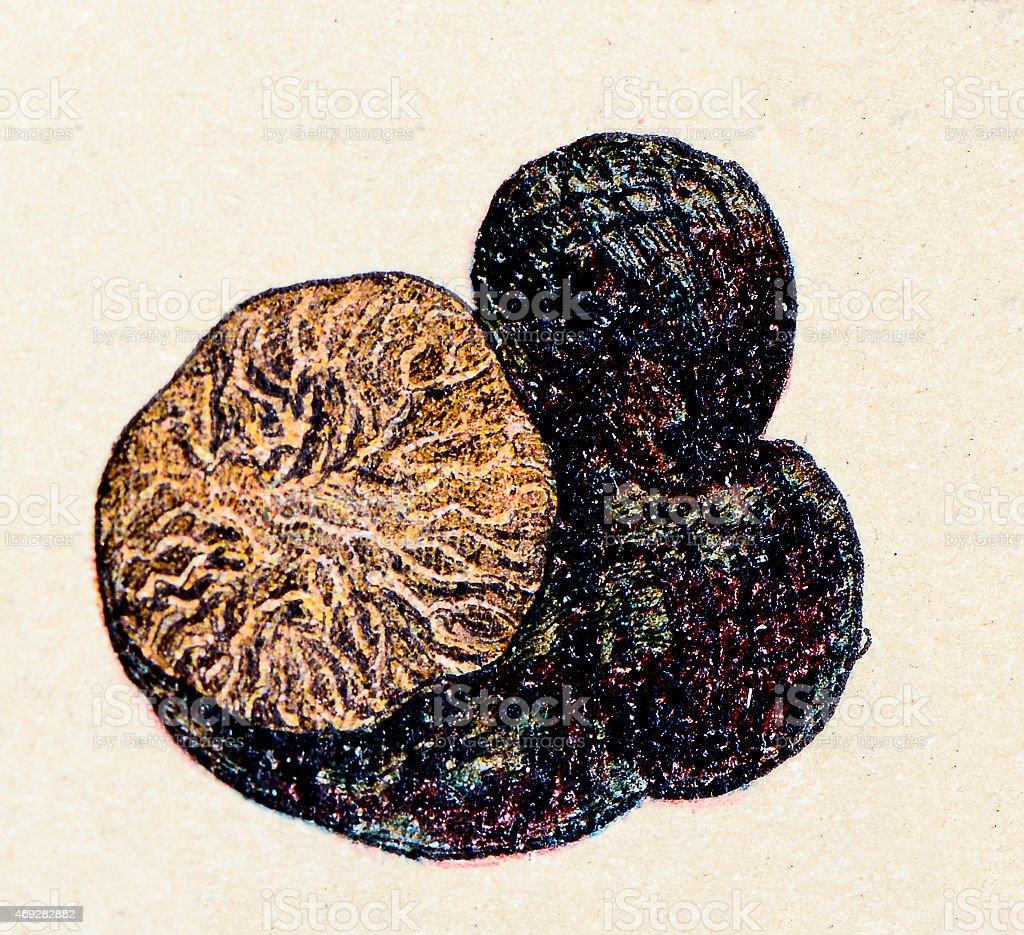 Mushrooms and fungi: Black Truffle vector art illustration