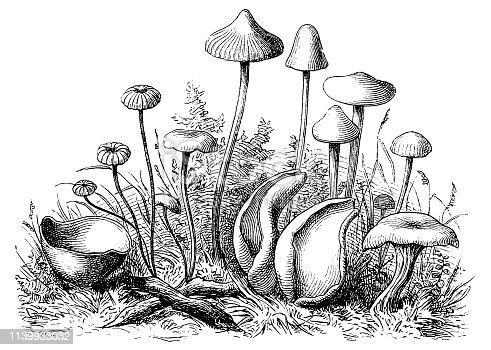 Illustration of a Mushrooms